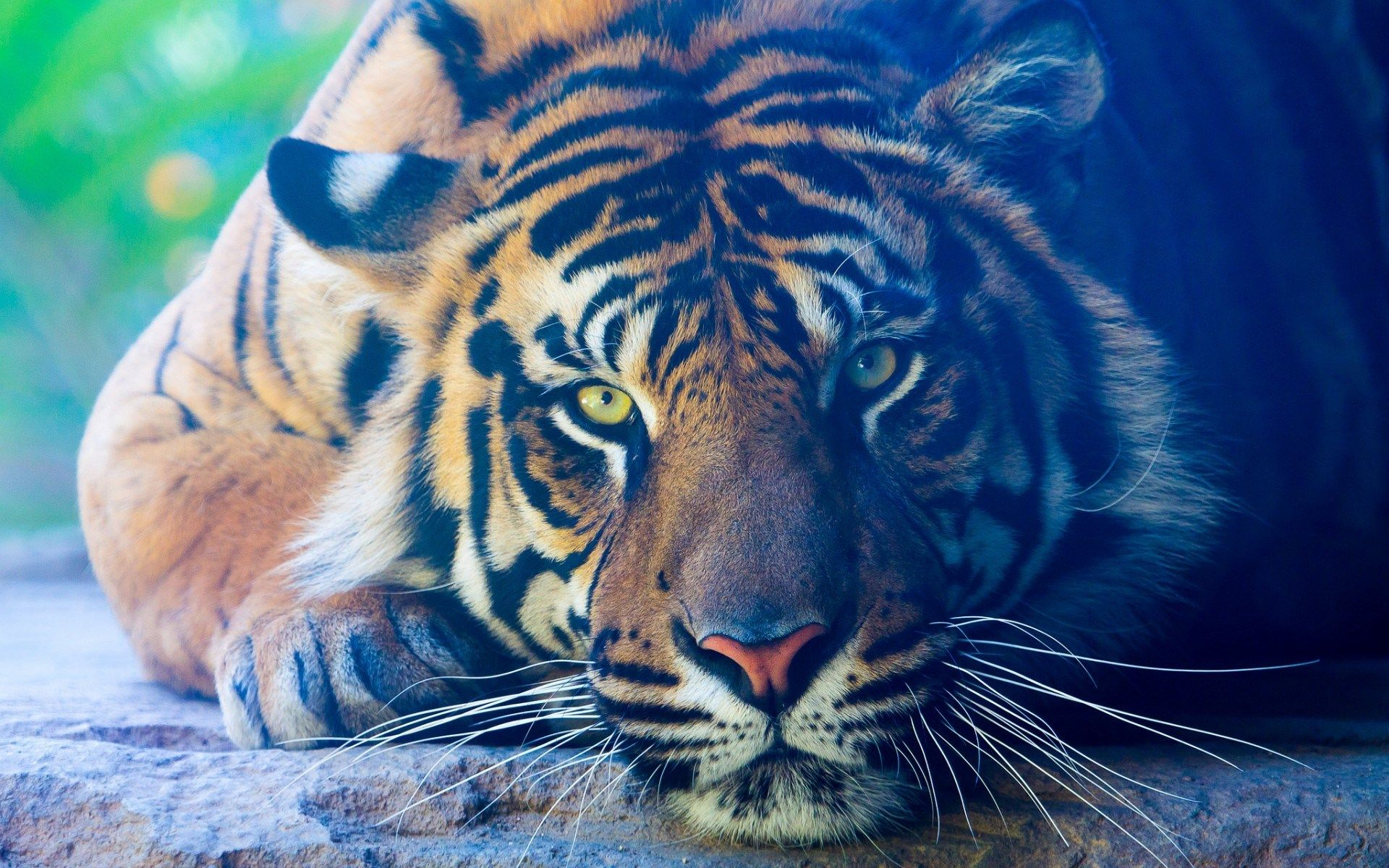 1417470, high resolution wallpapers = tiger picture | ololoshenka