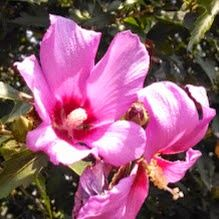 Life in my Father's world: Rose of Sharon