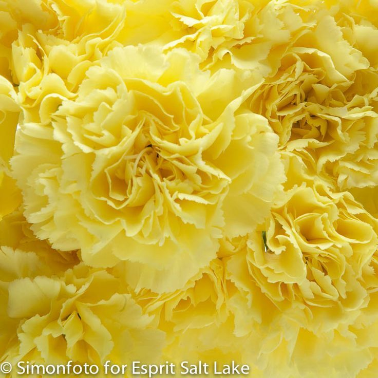 Best 25 Yellow Carnations Ideas On Pinterest Hand