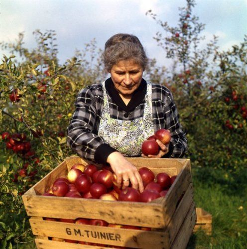 Appelpluk. Boerin met bont schort voor vult een fruit kist met rode appels. Op de   kist staat de naam van de tuinder: G.M.Tuinier.