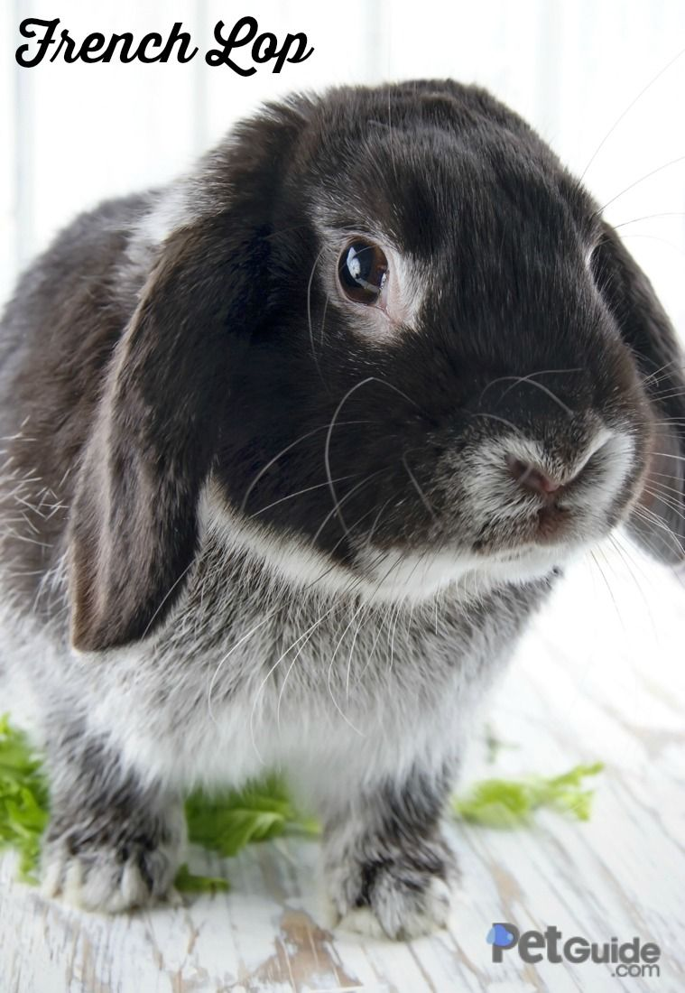 French Lop | French lop, Rabbit and Mini lop rabbit