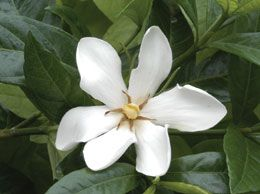 Hardy Gardenia Fragrant Plant Gardenia Plant Indoor Tropical