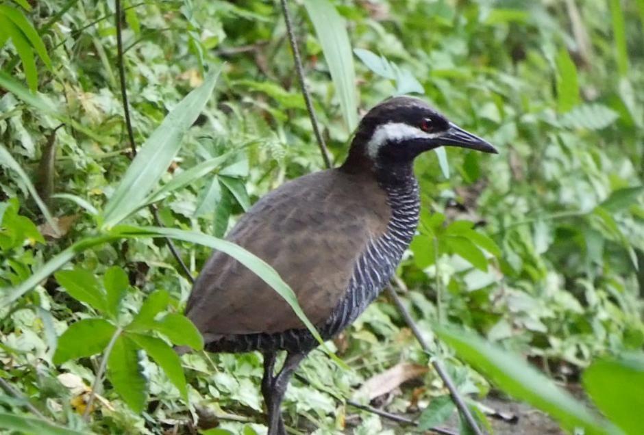 Barred Rail (Gallirallus torquatus) A bird on the ground.
