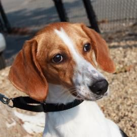 Dog Finder Adopt A Dog Or Cat Near You Treeing Walker