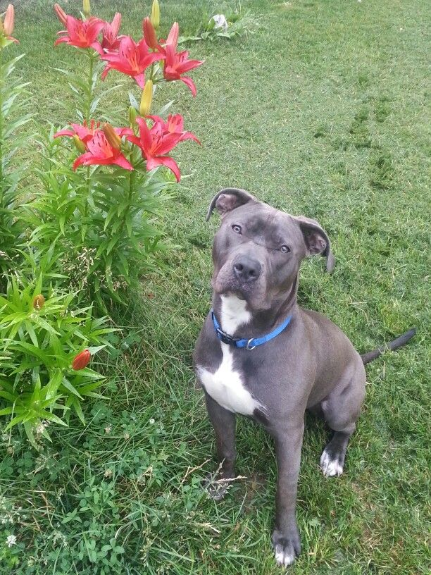 Violet Bully Breeds Pitbull Terrier Pets