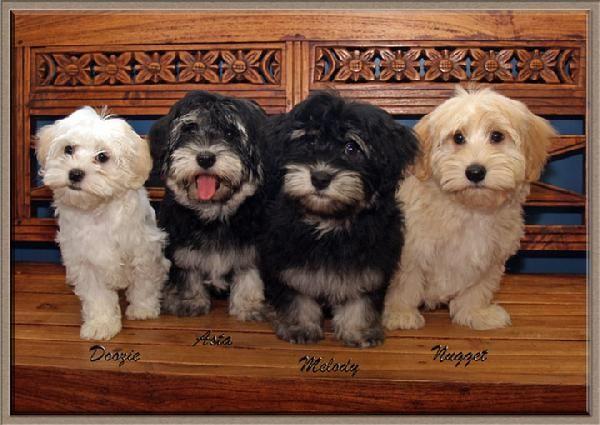 Havana Silkie Puppies Elfin Havana Silk Dogs Puppies And
