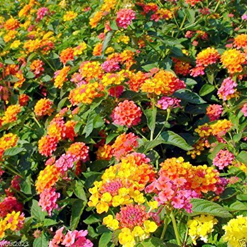 30 Lantana Camara Spanish Flag West Indian Lantana L Lantana Plant Lantana Bonsai Flower