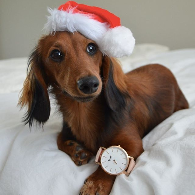 Santa Paws Found The Perfect Christmas Present A Designer Doxie