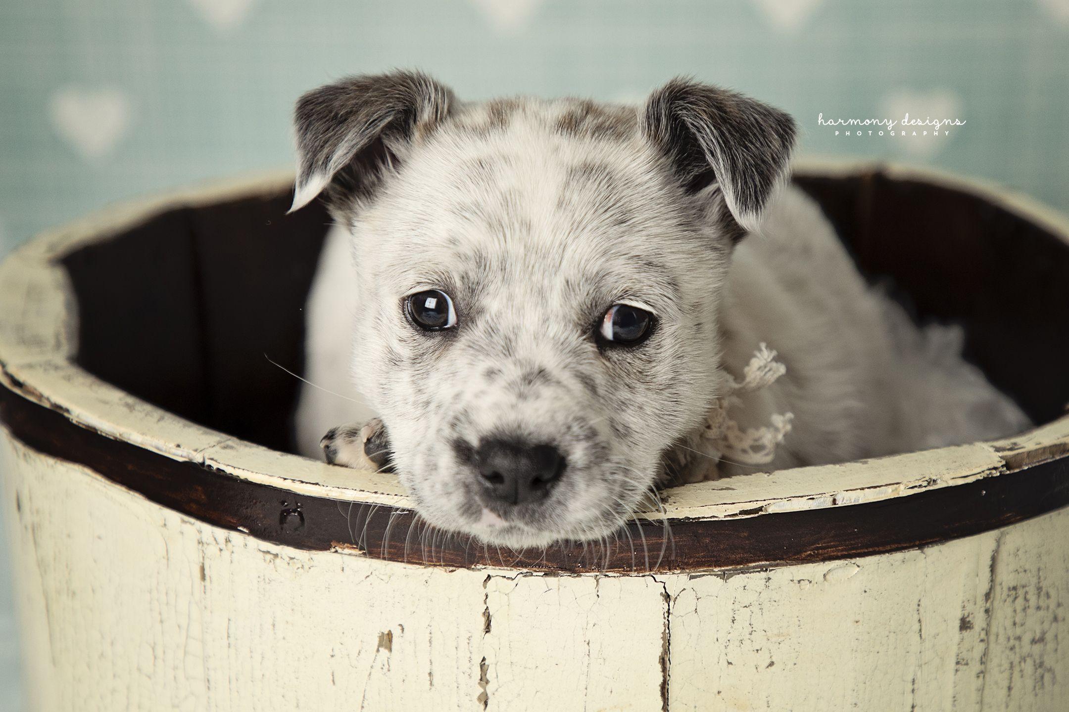 Adopt Dagny On Austrailian Cattle Dog Australian Cattle Dog