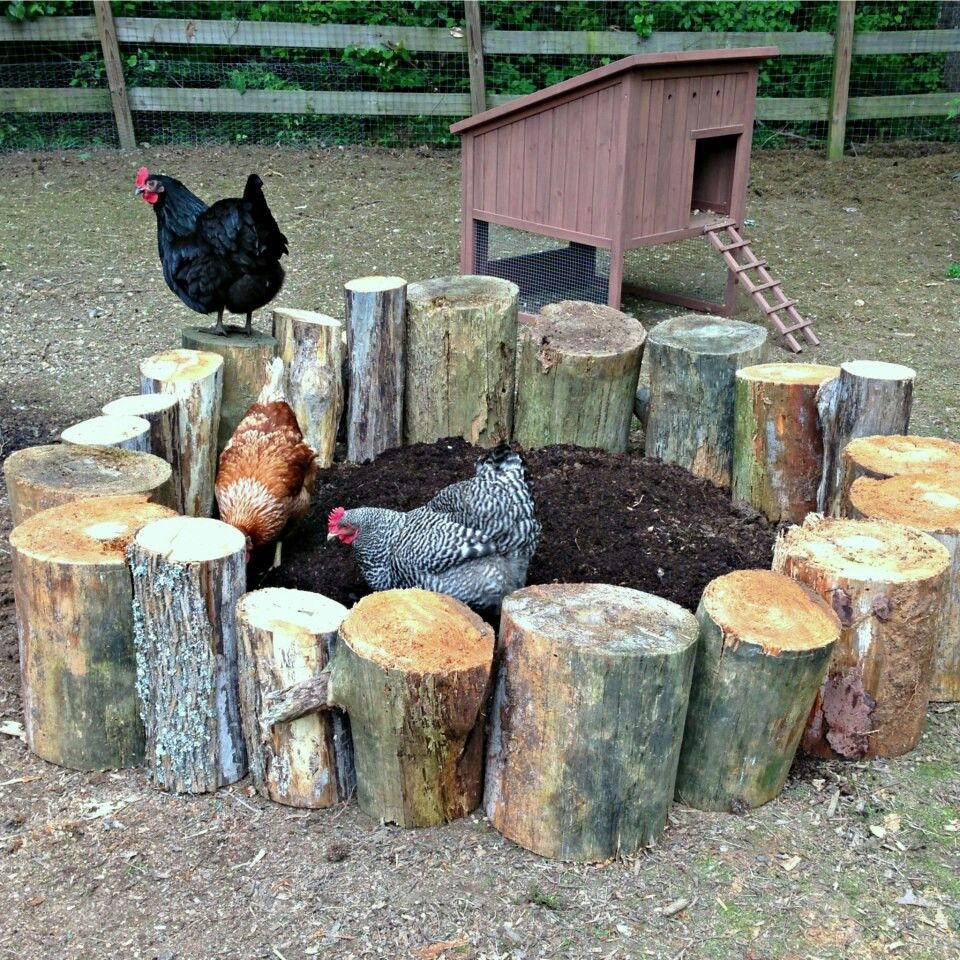 Stumps surround the dust bath for chickens. Minimizes the mess and gives them a…