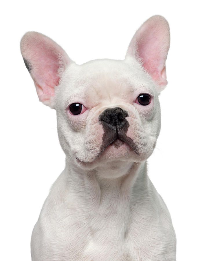 French Bulldog Puppy 5 Months Old By Life On White Bulldog