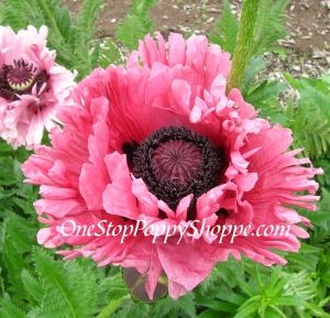 Oriental Poppy Seeds Germinating And Caring For Oriental Poppies Papaver Orientale Planting Poppy Seeds Flower Seeds Poppy Flower Seeds