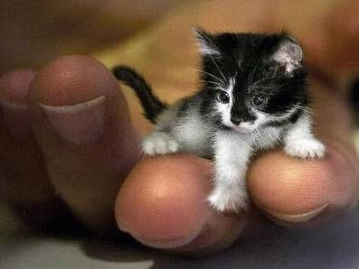 Mr. Peebles may look like a kitten, but he is actually 2-year-old. The tiny cat got its size from a genetic defect that stunts growth. At just 6.1-inch (15.5 cm) high and 19.2-inch (49 cm) long, he currently holds certification from The Guinness Book of World Records as the world's smallest cat. *i love him