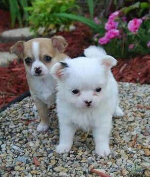 Cuties Teacup Chihuahua Puppies Chihuahua Puppies Cute Chihuahua