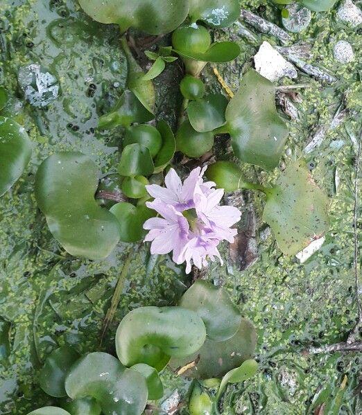 Flor de Ninfa. Lago de Amatitlàn. Sector Villa Canales, Guatemala.