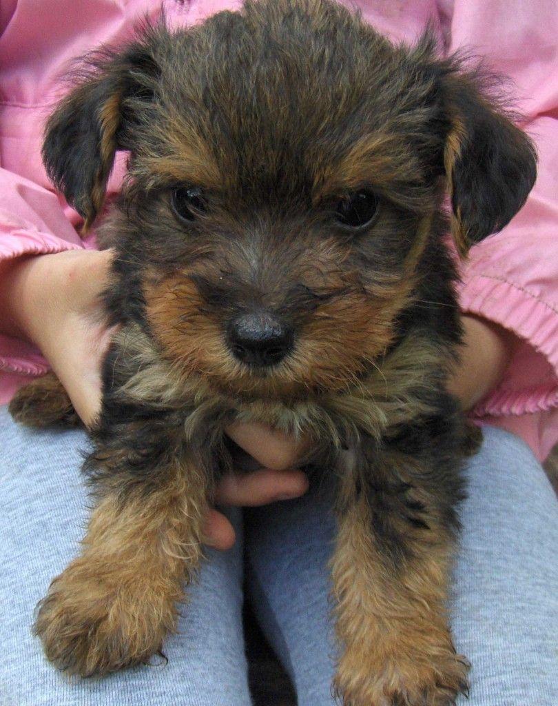 yorkie poo hypoallergenic | Pets | Pinterest