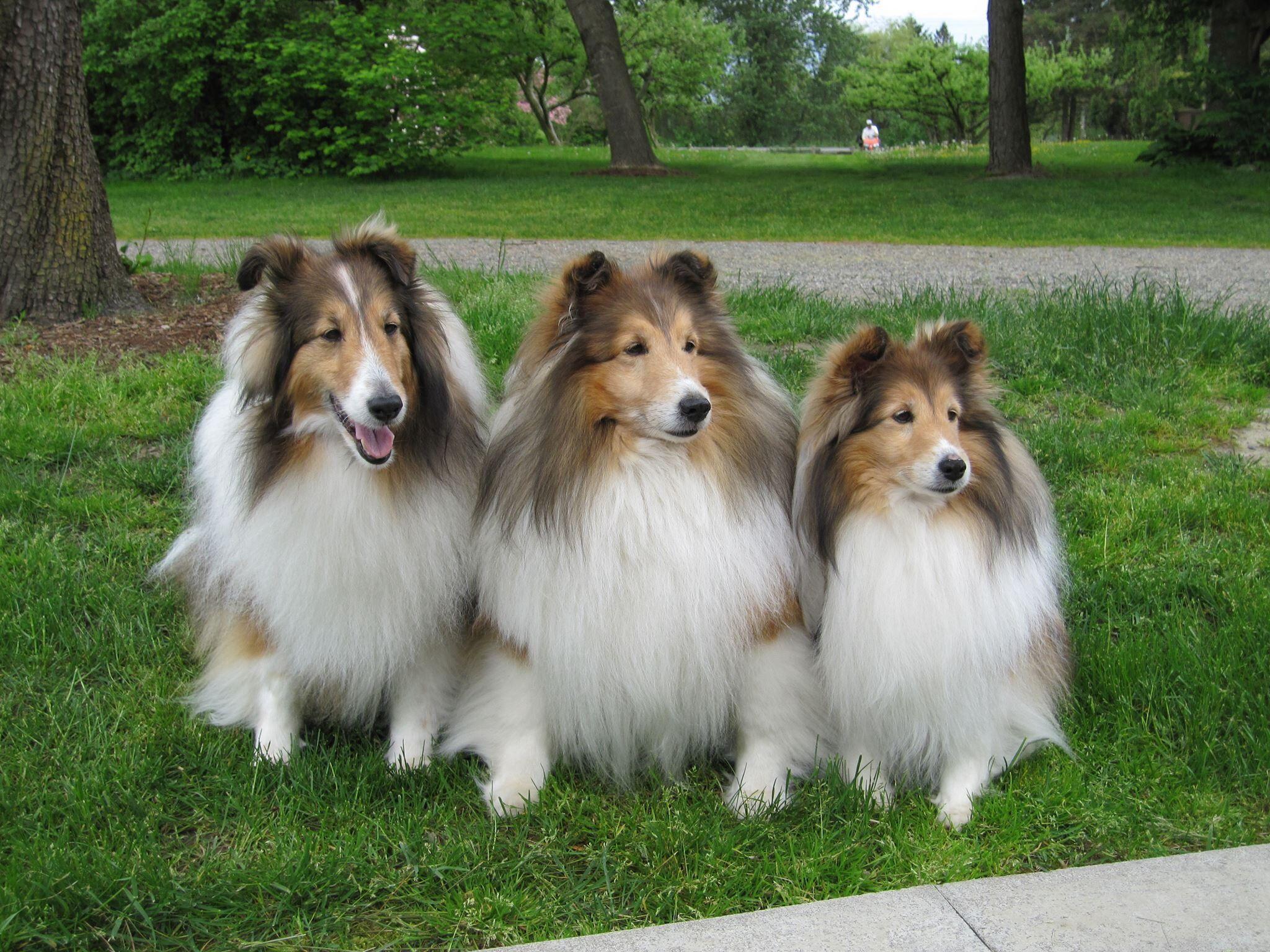 Shelties Sheltie Dogs Collie Dog Beloved Dog