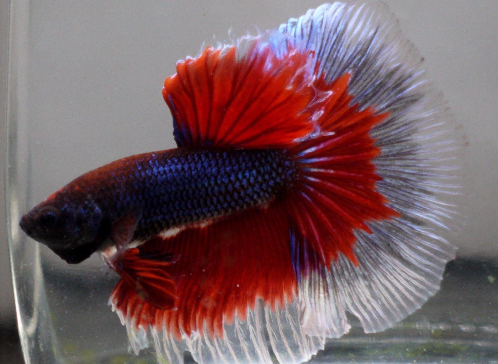 Betta Fish Colors | Aquarium | Pinterest | Betta fish, Colors and Betta