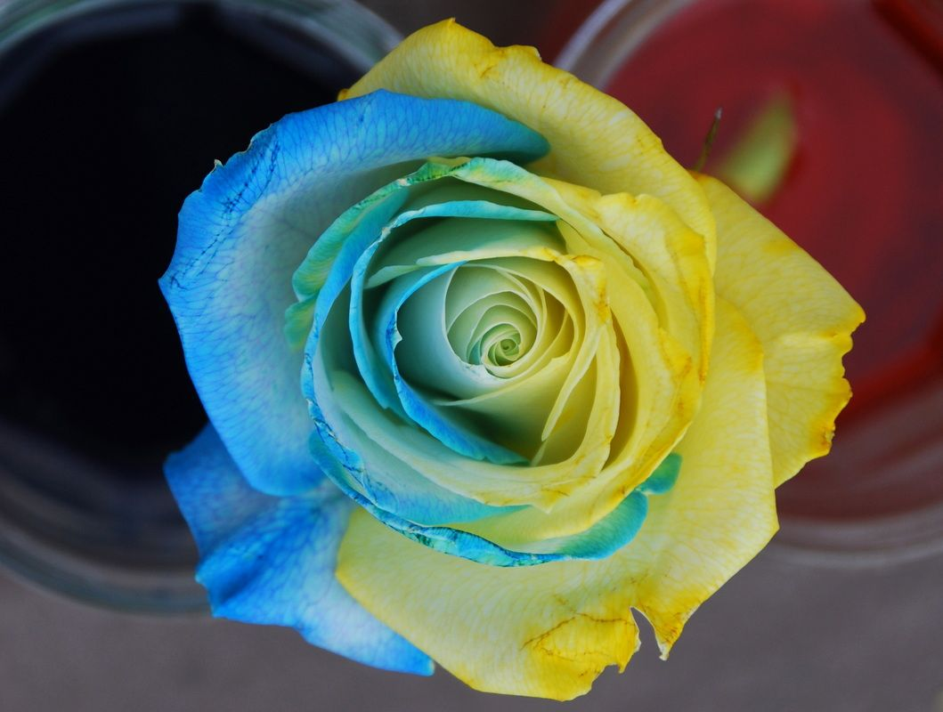 Color changing rose experiment a little blue and little for Color changing roses