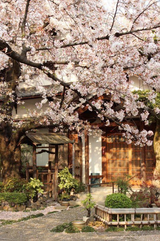 Under cherry blossoms Photo 1512px.tumblr.com
