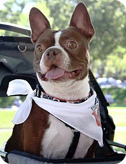 Huntington Beach Ca Boston Terrier Meet Rusty A Dog For