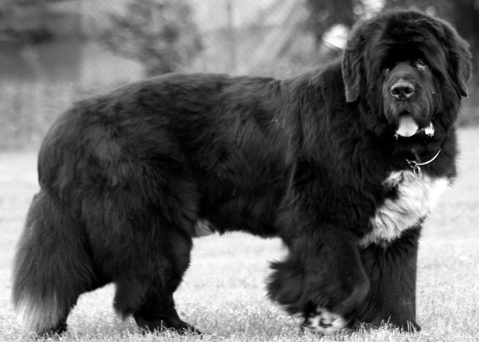 Pin by stephen sayad on my newfies newfoundland dog