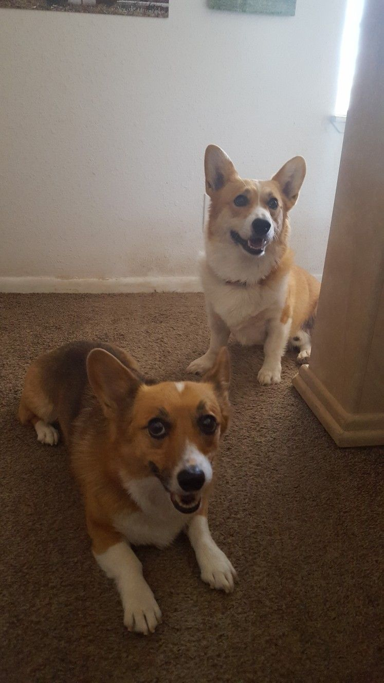 Corgi S They Are Like Lay S Potato Chips You Can T Just Have One This Is Lucy Wall E Corgi Pembroke Welsh Corgi Welsh Corgi