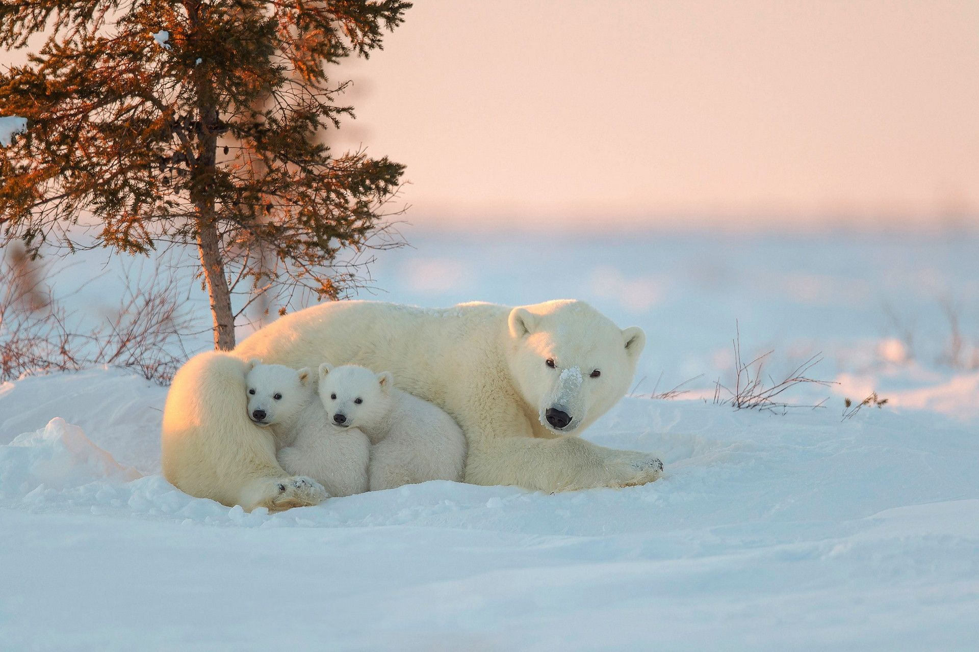 curious polar bear family wallpapers 78 wallpapers � hd