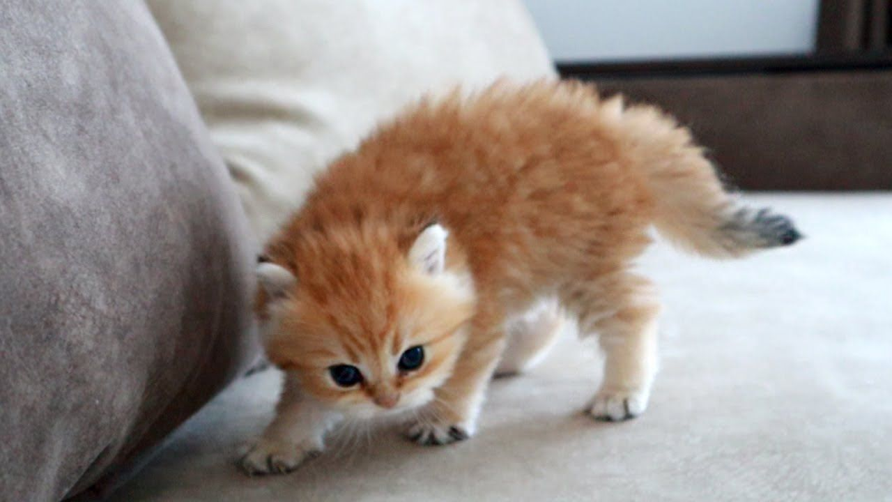 A Kitten Named Pixel Is Trying To Show That He Is A Very Dangerous Kitten In 2020 Kitten Cute Baby Animals Cute Animals