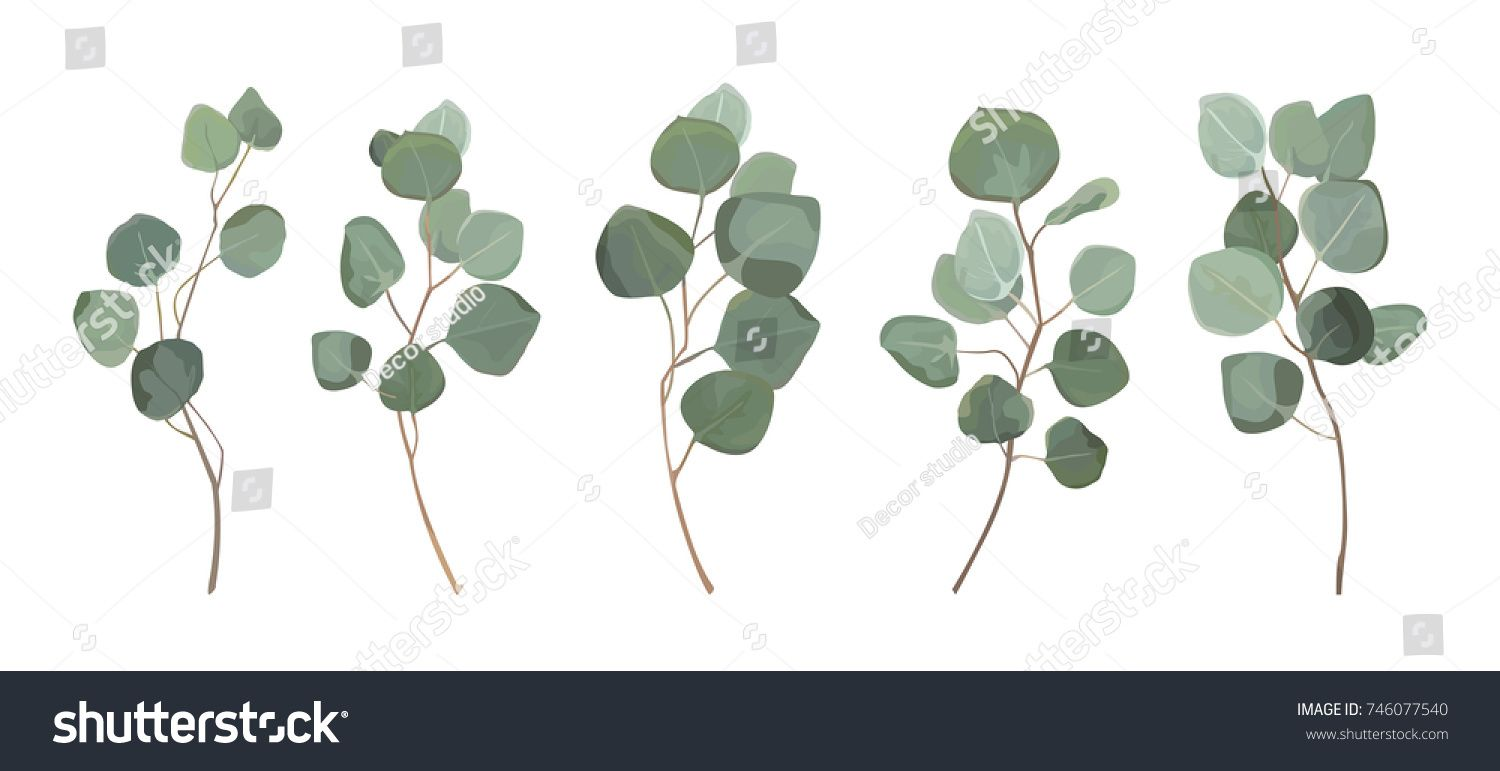 Eucalyptus Silver Dollar Greenery Gum Tree Foliage Natural Leaves Branches Designer Art Tropical Elements Set Bundle Hand Drawn In Watercolor Sty With Images Leaf Drawing