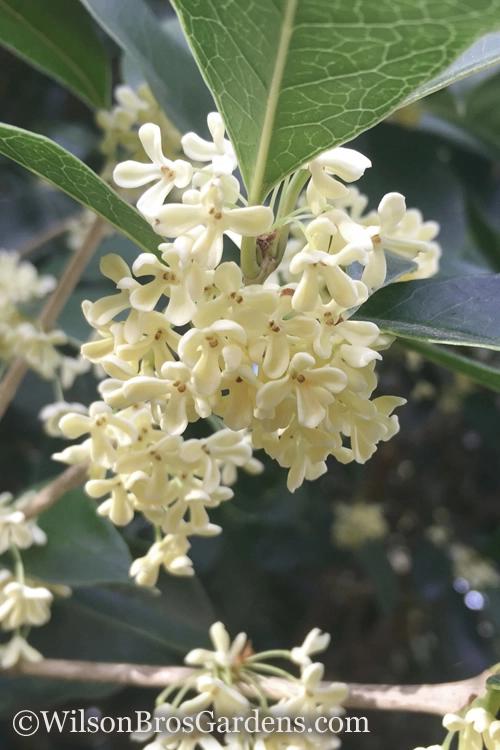 Buy Fragrant White Tea Olive Osmanthus Fragrans Free Shipping