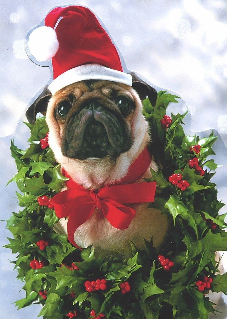 Pug In Wreath Funny Dog Greeting Cards 10 Boxed Christmas Cards By