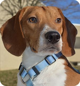 Richmond, VA Beagle Mix. Meet Tanner a Dog for Adoption