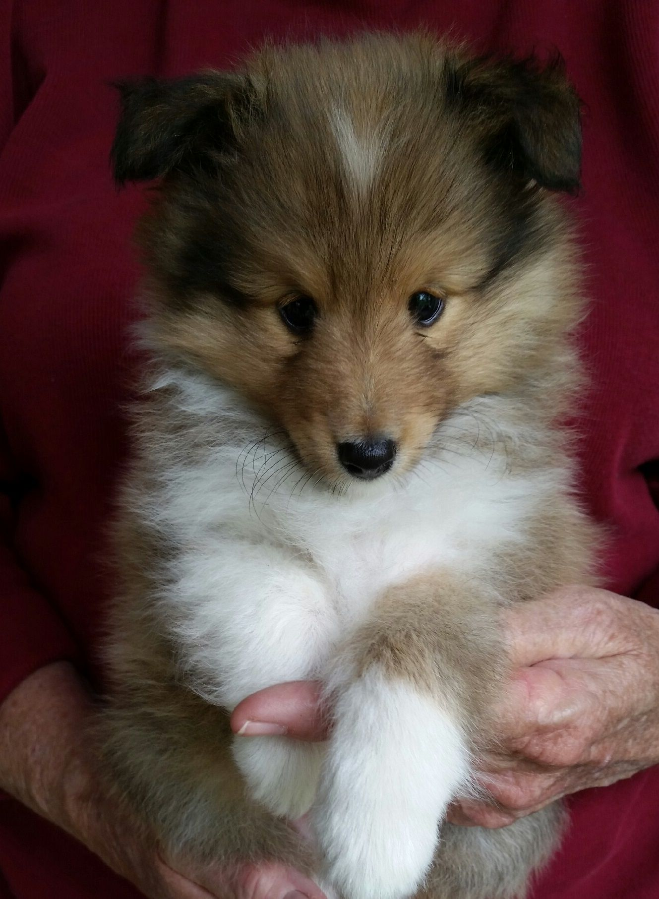 Texas Sheltie Breeders, Sheltie Pups, shetland sheepdog