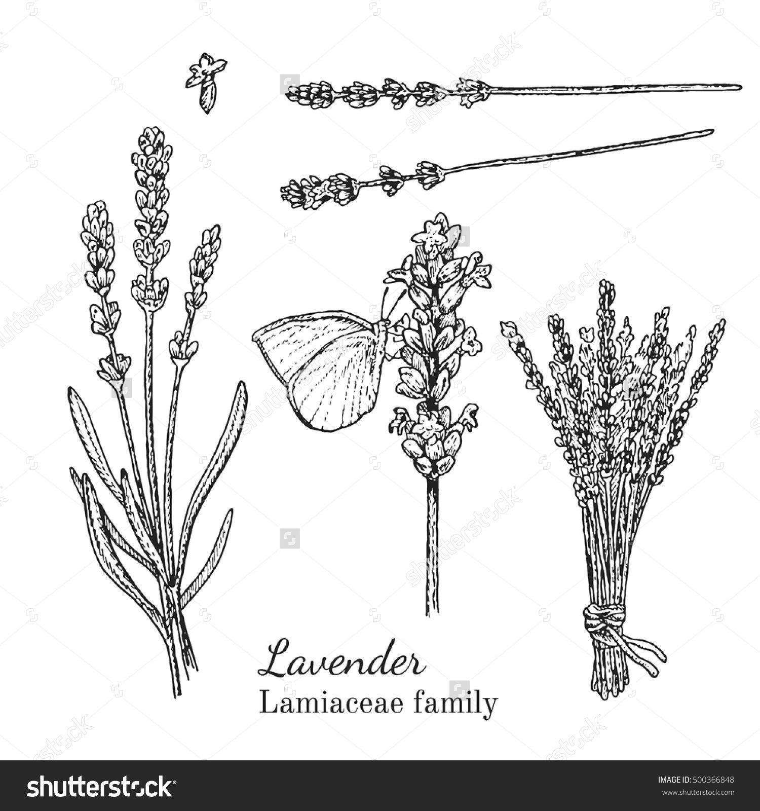 Ink Lavender Herbal Illustration Hand Drawn Botanical