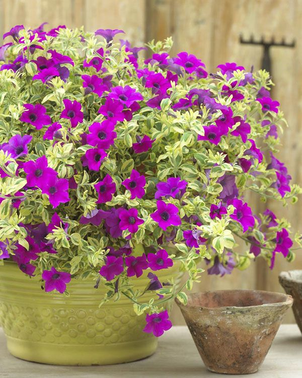Surfinia Trailing Variegated Baby Purple Petunia Is The Biggest