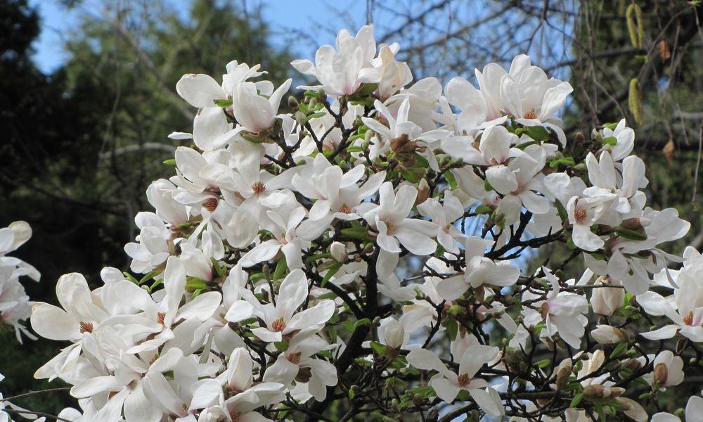 Magnolia Kobus St Marys Nursery Farm Magnolia Magnolia