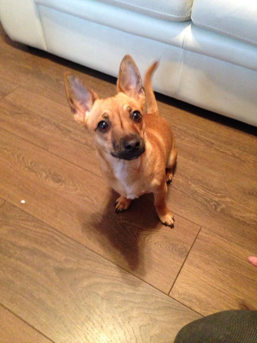 Fully Grown Jackahuahua Jack Russell X Chihuahua 8 Months Old