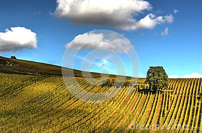 Lonely tree in the vineyards with dramatic deep floating white clouds in blue summer sky.