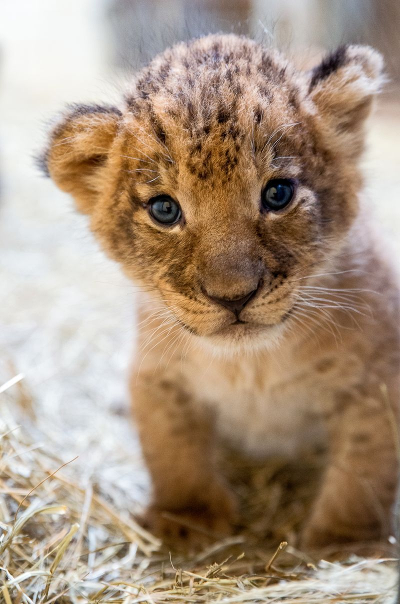 Female Lion Cub Sukari, one of three cubs born at the ...