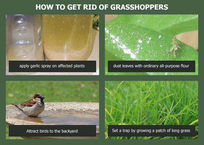 86a9b79543ee7b039486a8f3085c9655 - How To Get Rid Of Grasshoppers On My Plants