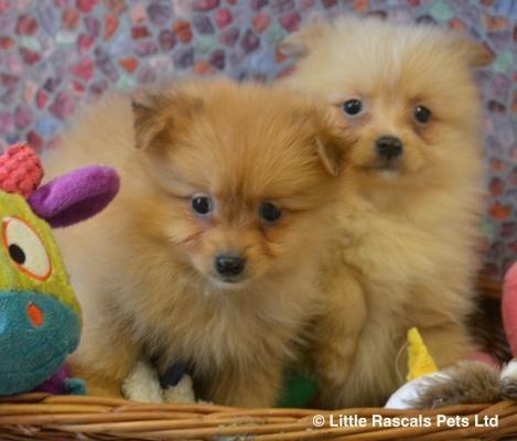 Buymydog Co Uk Provide Pomeranian Boys And Girls Dog For Adoption Clacton On Sea At Affordable Price These Pu Pomeranian For Adoption Girl And Dog Dog Adoption