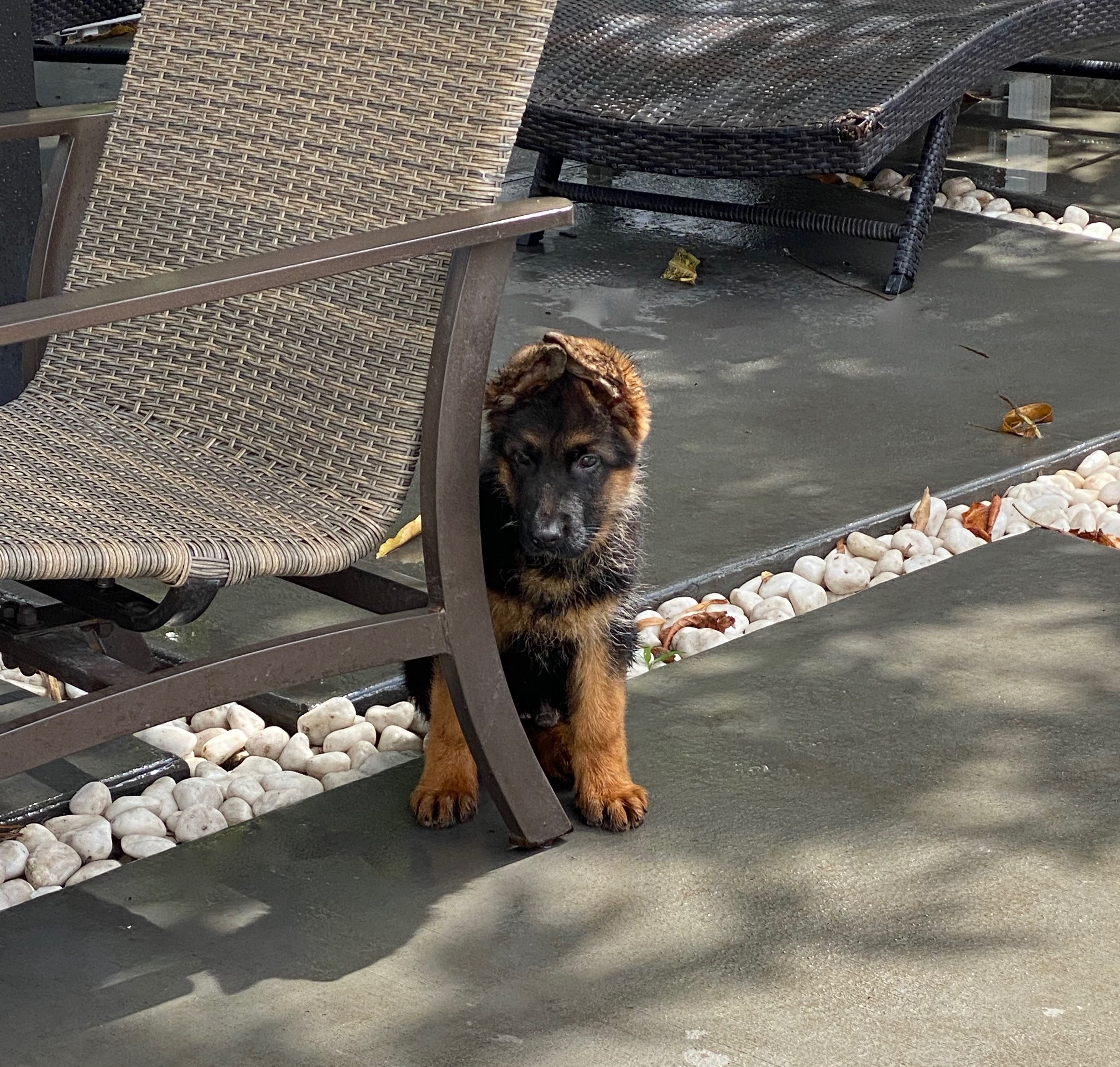 Von Calvo German Shepherds In 2020 German Shepherd Breeders German Shepherd Dogs And Puppies