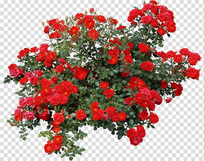 Rose Shrub Flower Bushes Red Roses Illustration Transparent Background Png Clipart Flower Illustration Rose Art Drawing Red Rose Png