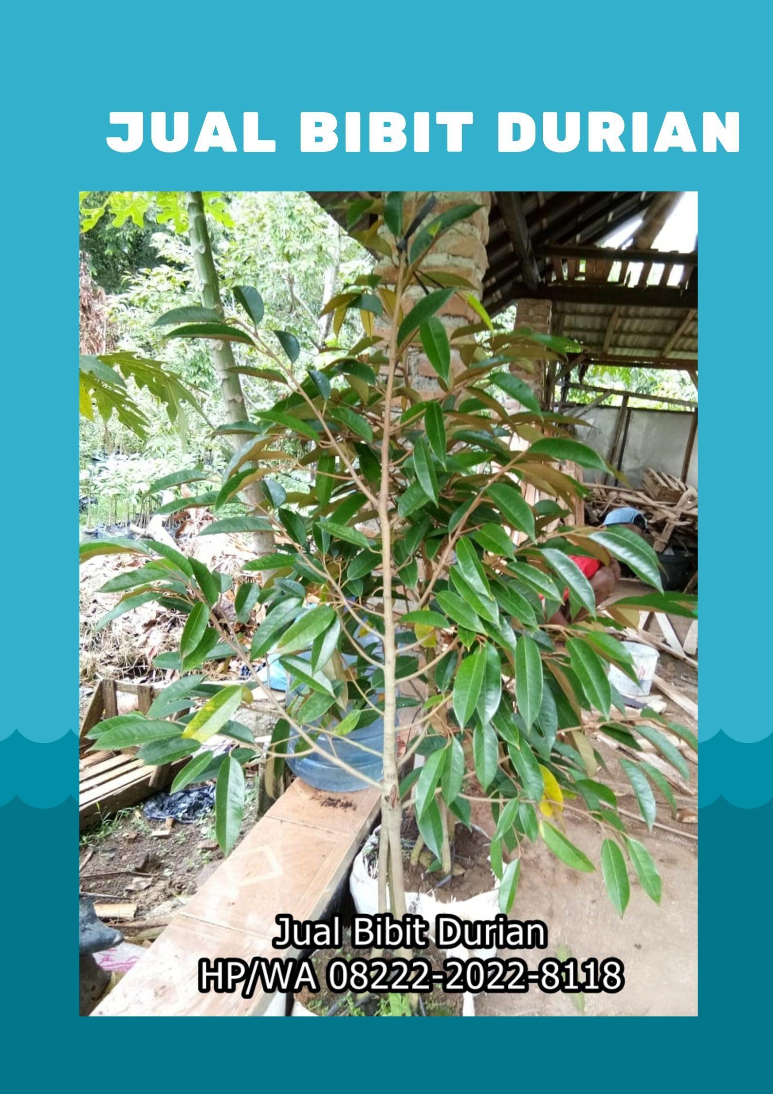 Manis Wa 0822 2022 8118 Jual Bibit Durian Unggul Palembang Benih Musang Buah