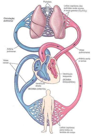 Aula de Anatomia - Sistema Cardiovascular | Medicina Veterinária ...