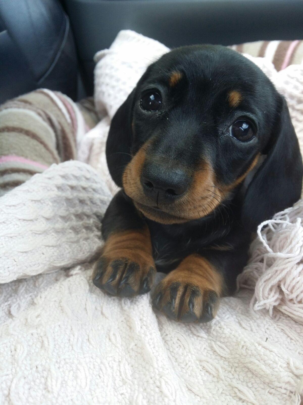 Help Reddit My New Girl Mini Daschund Puppy Needs A Name