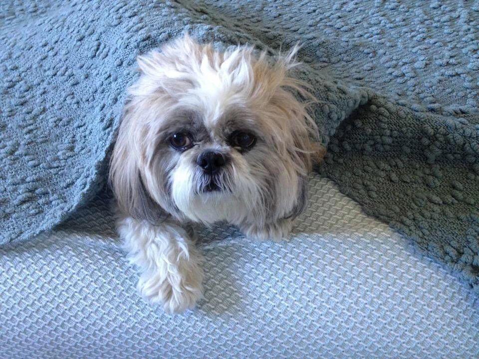 Silly Finja Shih Tzu Dog Shih Tzu Cute Small Dogs