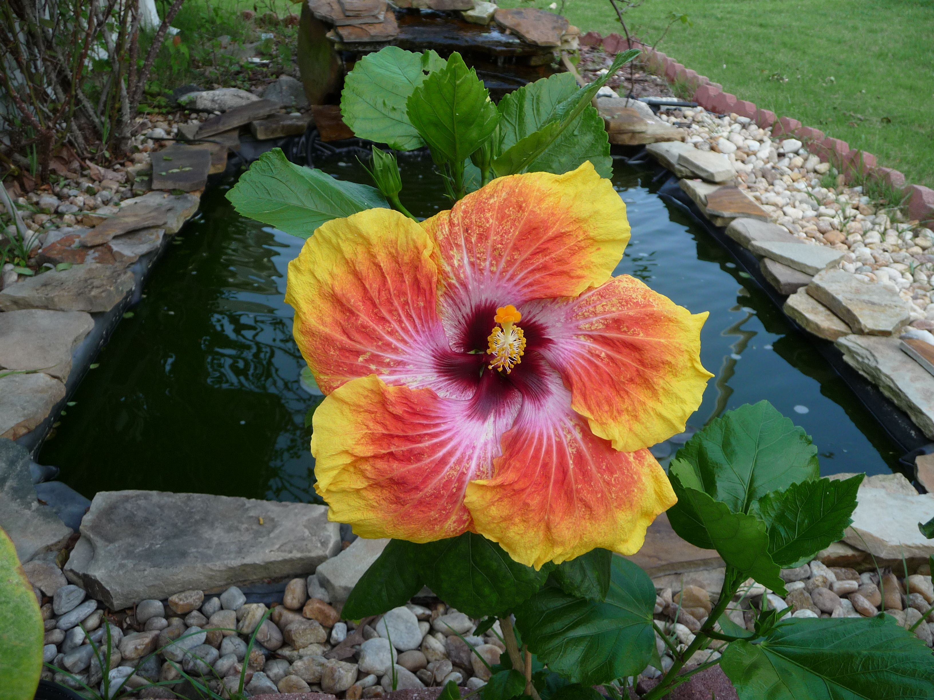 Hibiscus Care Hawaiian Hibiscus Growing Tips How To Grow Tropical