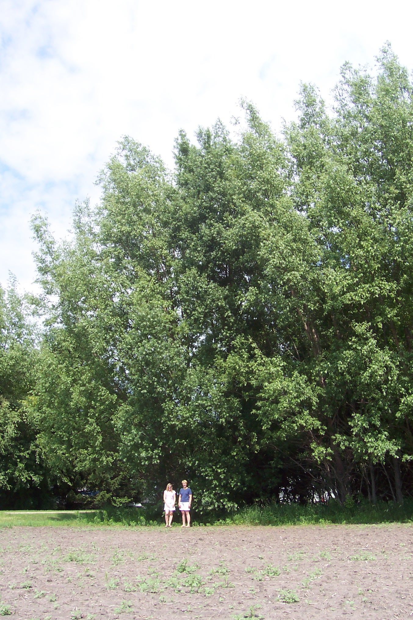 Hybrid Willow trees, fastest growing species in North America ...